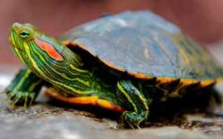 В каких условиях живет красноухая черепаха