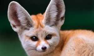 Почему у фенека большие уши