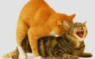 Как совокупляются коты