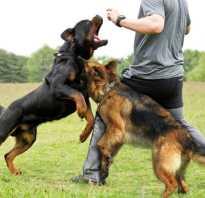 10 самых опасных пород собак: описание и почему нападают