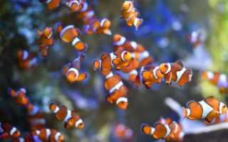 Рыба клоун описание