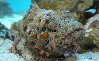 Рыба камень фото укус