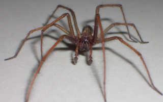 Виды пауков в доме