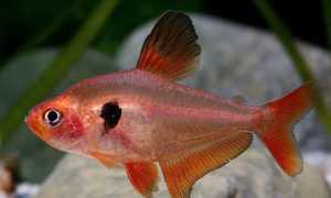 Рыбка минор или серпас: содержание и уход, совместимость с другими аквариумными рыбами