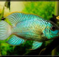 Рыба наннакара фото