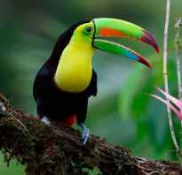 Как выглядит тукан: птица с большим желтым или оранжевым клювом, описание, ареал обитания и образ жизни