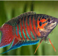 Макропод рыбка: содержание, совместимость, фото-видео обзор