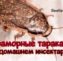 Самка мраморного таракана