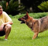 Как надрессировать собаку