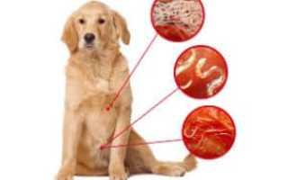 Глисты у собак фото лечение