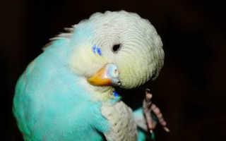 Попугай чешет под хвостом