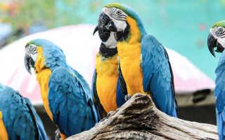 Лучшие говорящие попугаи