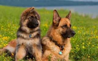 Уход и кормление щенков овчарки