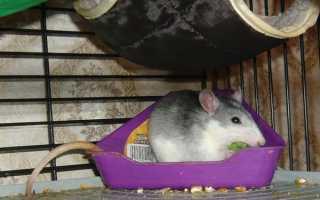 Почему крыса писает