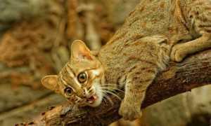 Ржавая или маленькая дикая кошка: фото и описание