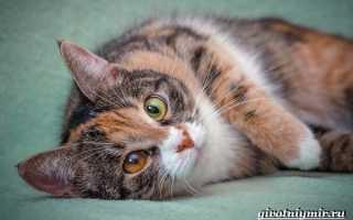 Четырехцветная кошка порода