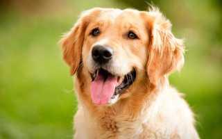 Самая дружелюбная порода собак в мире