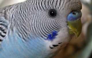 Как узнать возраст попугайчика