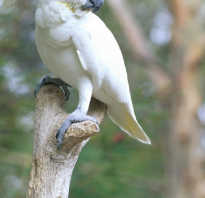 Какаду попугай фото цена