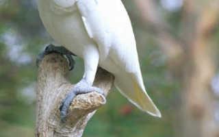 Стоимость попугая какаду