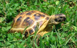 Среднеазиатская черепаха сколько живет
