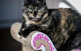 Черепаховая кошка: уникальный окрас и его виды