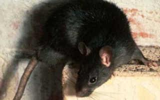 Пищат мыши или крысы