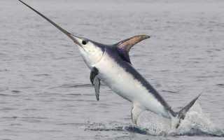 Рыба меч виды