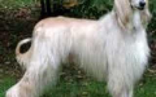 Порода собак на букву ф