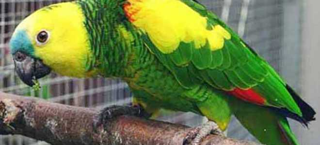 Венесуэльский амазон — уход и содержание попугая