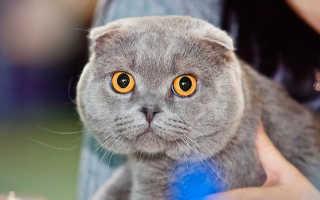 Шотландская вислоухая кошка спаривание