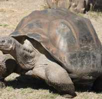 Строение черепахи красноухой