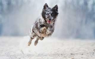 Лучшие пастушьи породы собак