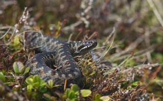 Чёрная гадюка змея википедия