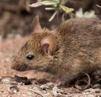 Доклад про мышь