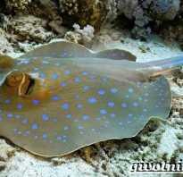Рыба скат фото и описание