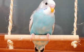 Рвота у попугая волнистого что делать если птица рвет зернами?