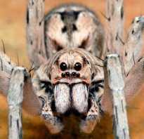 Самые опасные паукообразные