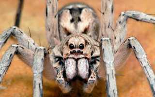 Самый сильный паук