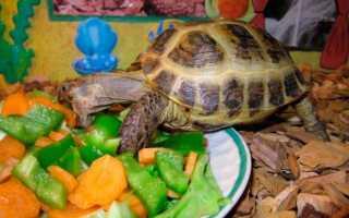 Что едят черепахи домашние
