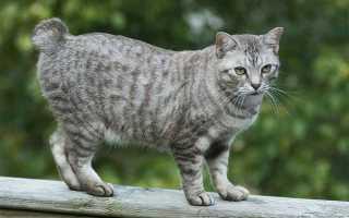 Порода кошек с маленьким хвостом