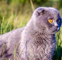 Кошка с маленькими ушами порода