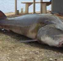 Рыба калуга фото и описание