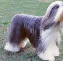 Описание породы собак Бородатый колли с отзывами владельцев и фото
