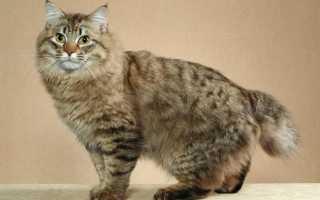 Кошачья порода бобтейл