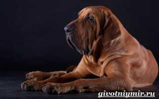 Фила бразилейро: описание и характеристика породы собак, содержание и уход, разведение