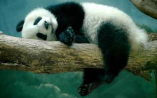 Панда и хомяк