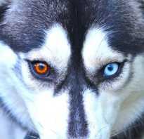 Разные глаза у хаски