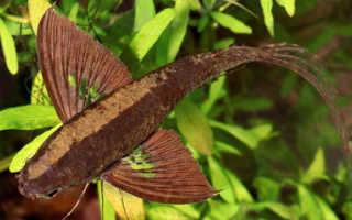 Рыба бабочка пресноводная