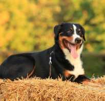 Аппенцеллер зенненхунд: описание породы и стоимость щенков